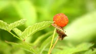 Raspberry growing, close-up Stock Footage