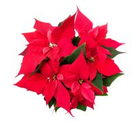poinsettia - euphorbia pulcherrima - stock photo