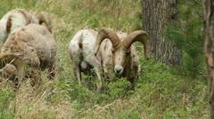 Bighorn rams graze - stock footage