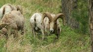 Stock Video Footage of Bighorn rams graze