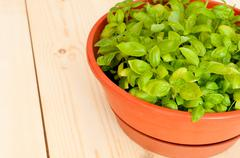 Fresh potted basil Stock Photos