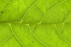 extreme close up of green leaf veins - stock photo