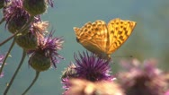 Butterfly on Flower, Butterfly and Bees Gathering Pollen, Macro Stock Footage