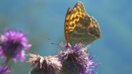 Stock Video Footage of Butterfly on Flower, Butterfly, Bees and Ladybug Gathering Pollen, Macro