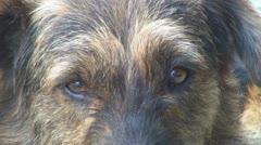 Sad, Stray  Dog, Eyes of a Sad Dog, Orphan, Abandoned Animal, Close Up  Stock Footage