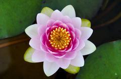 Symmetrical lotus for conceptual photo Stock Photos