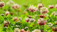 Bee and Clover Stock Footage