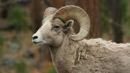Stock Video Footage of Bighorn ram