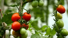 Tomatoes growing Stock Footage