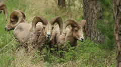 Bighorn rams graze in wooded area Stock Footage