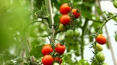Growth tomato Stock Footage
