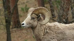 Bighorn ram profile head and shoulders - stock footage