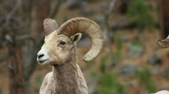 Bighorn ram MCS while another ram crosses in front him Stock Footage