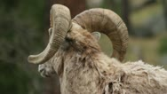 Stock Video Footage of Bighorn ram watches another in background then turns to camera