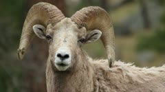 Bighorn ram Close Up looks around Stock Footage