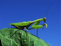 green mantis - stock photo