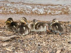 Young mallard ducklings Stock Photos