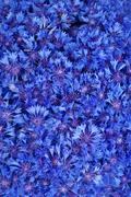 beautiful spring flowers blue cornflower on background - stock photo