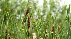 Bulrush - stock footage