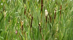Typha latifolia flowers in a field Stock Footage