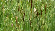 Typha latifolia flowers in a field Stock Footage