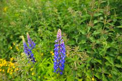 Blue lupins Stock Photos
