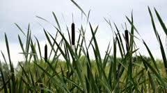 bulrush near a pond - stock footage