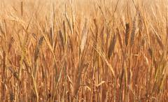 Wheat on a meadow Stock Photos