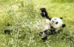 Lazy panda Stock Photos