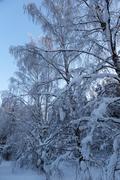 A snowy leafless birch tree Stock Photos