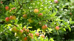 Apples on tree, view sliding away Stock Footage