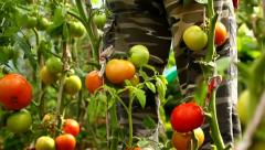 Man watering tomatoes in his greenhouse in the countryside Stock Footage