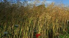 Tree in Rape seed field Stock Footage
