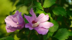 pink flower in the wind - stock footage