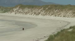 lone bull wandering on the beach - stock footage