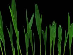 Stock Video Footage of Time-lapse of growing maize vegetables 5a3 (DCI-2K)
