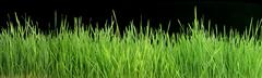 Stock Photo of green grass panorama isolated on black 101 megapixels