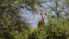 Nubian Ibex- Capra ibex nubiana Stock Footage