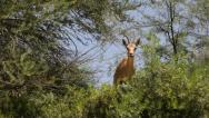Stock Video Footage of Nubian Ibex- Capra ibex nubiana