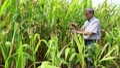 Farmer in a cornfield Footage