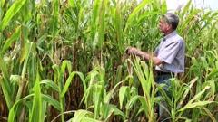 Farmer in a cornfield Stock Footage