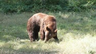 Brown Bear walking in the grass near the forest ( Ursus Arctos ) Stock Footage