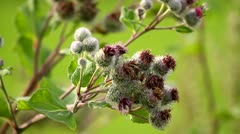 Burdock in a natural meadow Stock Footage