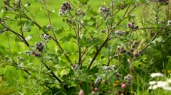 Natural meadow with a burdock - stock footage