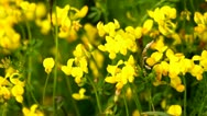 Stock Video Footage of Alfalfa, lucerne blooms