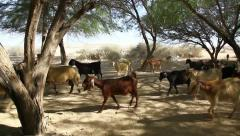 Goats in oasis in the Negev desert in Israel Stock Footage