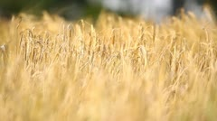 Wheat field, shallow depth of field Stock Footage