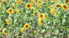 Sunflower field at Thrace - stock footage