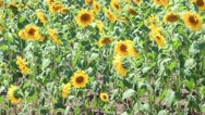 Sunflower field at Thrace Stock Footage