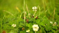 White clover in natural meadow Stock Footage